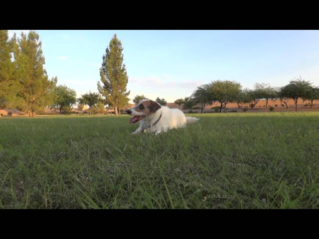 Jesse the Jack Russell Tricks/Behaviors