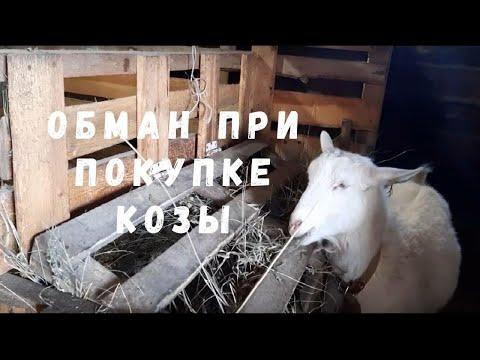 Обман при покупке козы