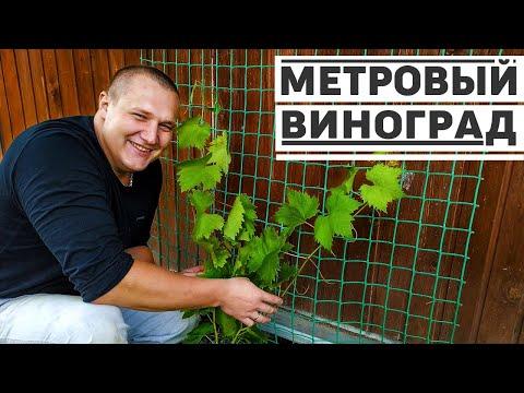 Первая подвязка винограда на сетку, быстрый рост вдоль летней веранды.