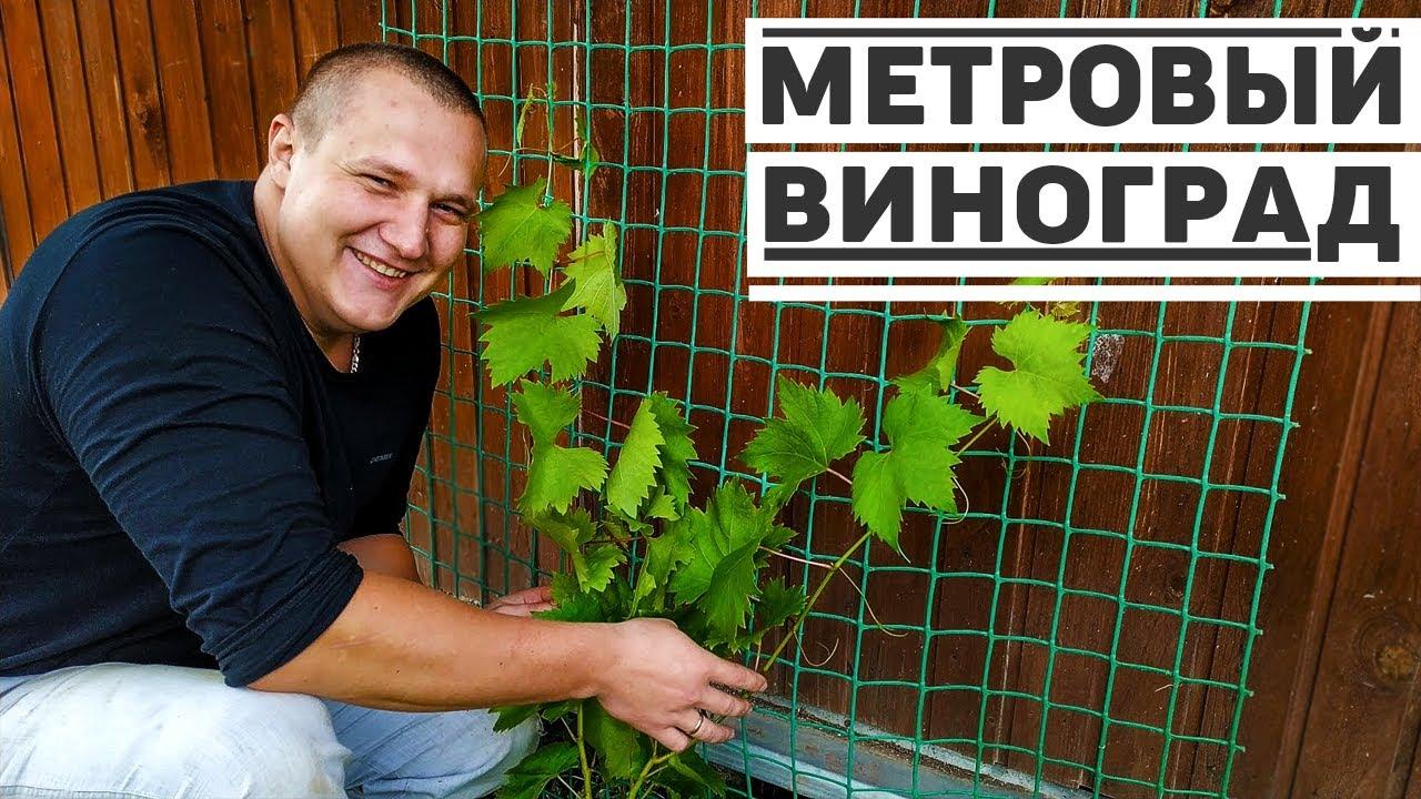 Подвязка винограда на даче, убираем часть огорода