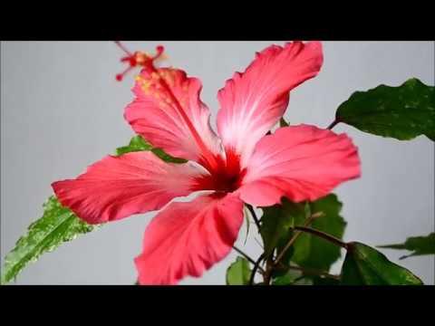 Гибискус пестролистный. Как выглядит цветок и листья гибискуса Купера Карнавал