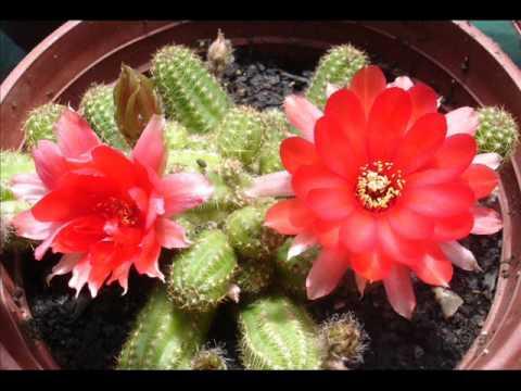 San fabi n de alico flores de cactus al sur del mundo for Suculentas chile