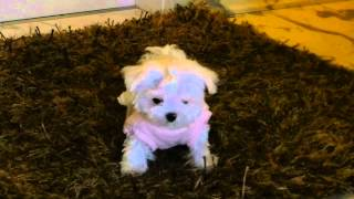The Maltese Is A Small Breed Of Dog In The Toy Group Maltese Puppy Malteser Welpen