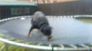 Rottweiler On A Trampoline