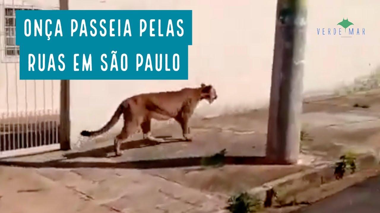 Onça flagrada pelas ruas de Cerqueira César/SP