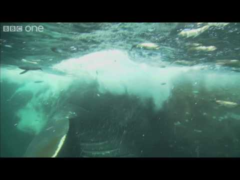 HD Web Extra: Whale GULP - Nature's Great Events - BBC One