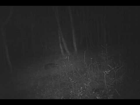 Badgers foraging