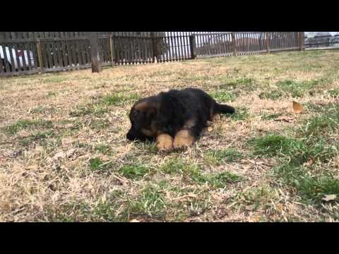 Beautiful Black and Red German Shepherd Puppies Playing