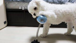 댕댕펀치로 장난감 명치 세게 때리는 강아지ㅋㅋㅋㅋ??