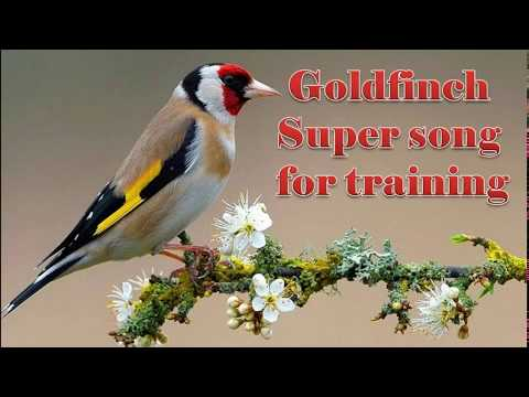 Goldfinch Super Song 2016