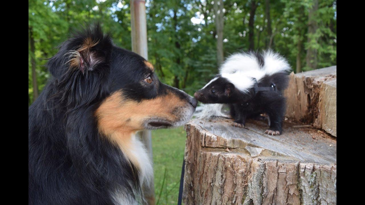 Funny Cute Pet Skunk Adventures Youtube
