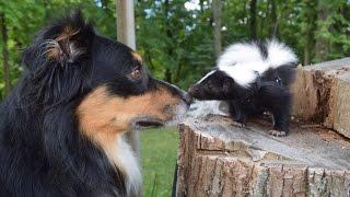 Funny, Cute Pet Skunk Adventures!