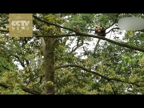 Up up and away! Panda climbs tall tree in Sichuan Province