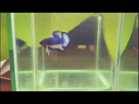 Ikan Cupang Mg Mustard Gas Youtube
