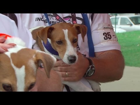 Full Jack Russell Run Competition - 2016 Purina Pro Plan Incredible Dog Challenge National Finals