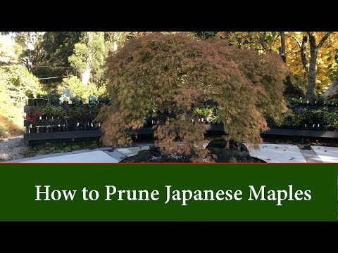 How To Prune Japanese Maples - Part 1.