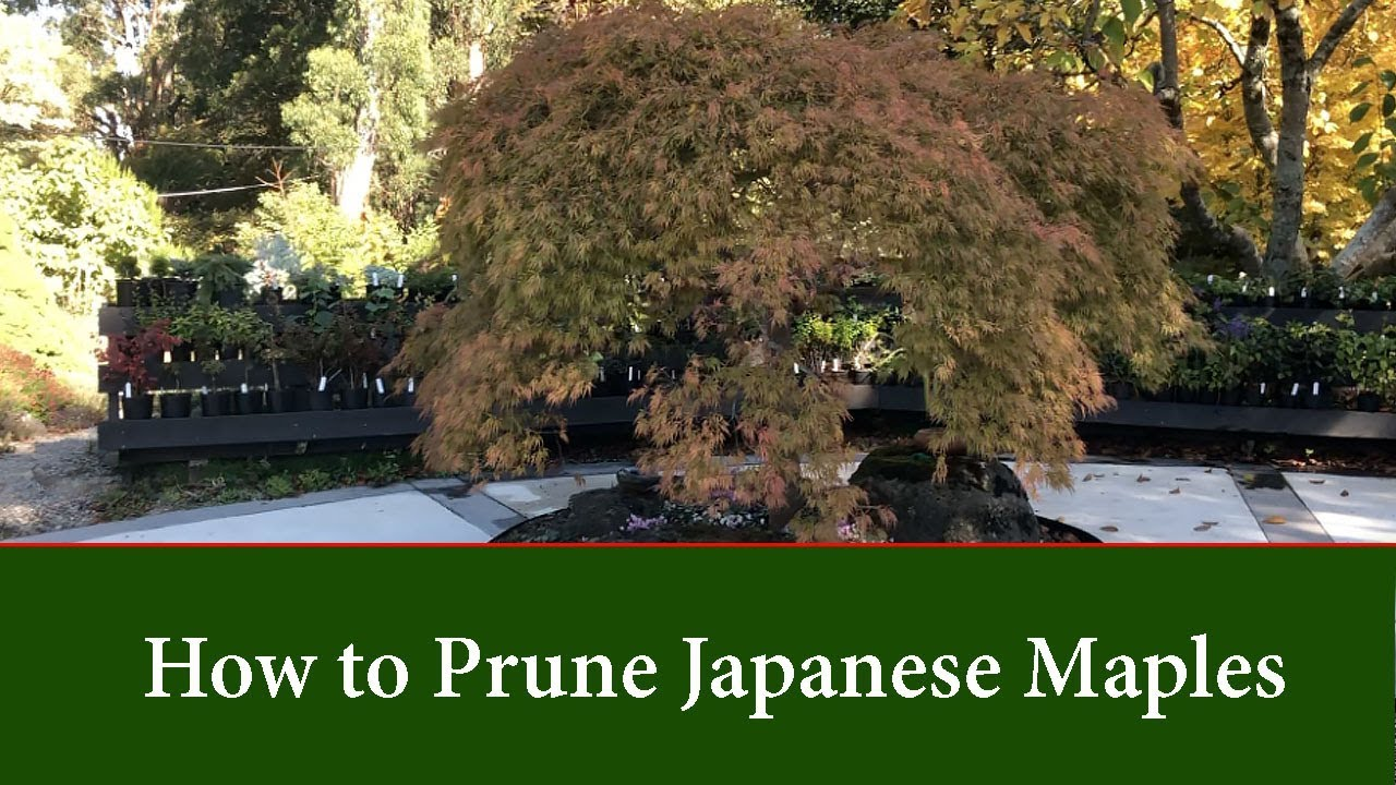 How To Prune And Thin Cut Leaf Japanese Maples Part 1 Youtube