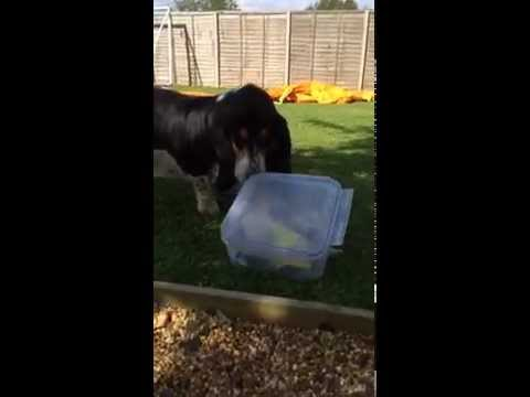 How to keep a Basset Hound amused