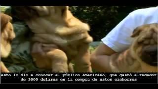 Shar Pei - Abc Canino