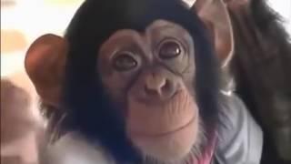 очень смешные видео про обезьяну(очень смешные видео про обезьяну., 2016-05-13T11:04:32.000Z)