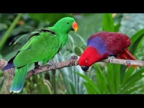 Indahnya Duel maut kicauan burung Nuri kepala hijau dan merah.