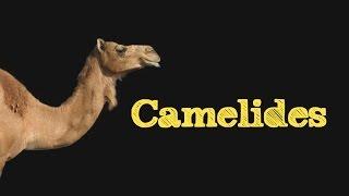 Les Camélidés