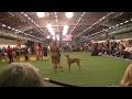 PHARAOH HOUND Westminster dog show 2017 b の動画、YouTube動画。