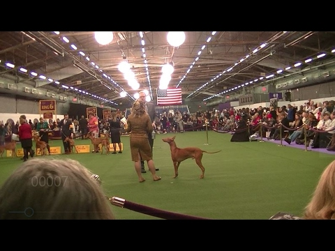PHARAOH HOUND Westminster dog show 2017 b