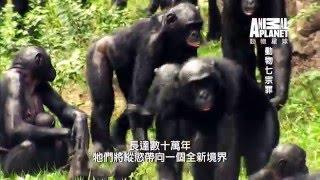 侏儒猩猩在任何時間任何地點都可以跟任何人做愛,但母子性交例外《動物七宗罪》每週日晚間8點首播