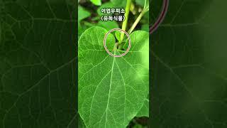 이엽우피소, 하수오, 박주가리비교, 藥用植物 #shor…