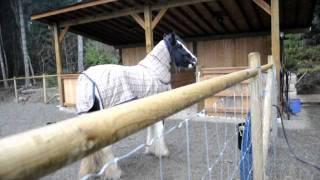 "Kazan the Gypsy Vanner vs the iphone ""horse"" ringtone (2nd of 2 videos)"