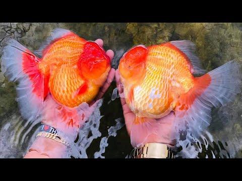 Popular Goldfish Farm   Collecting Goldfish