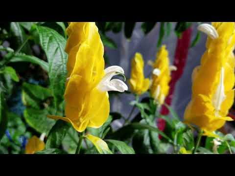 EASY NON-STOP FLOWERS! LOLLIPOP PLANT! Pachystachys Lutea