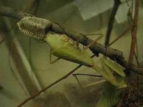 Praying Mantis Laying An Ootheca Egg Case Youtube