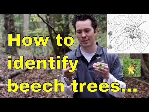 Tree id: Beech (Fagus sylvatica) Beechnut or European beech, copper beech, Dawyck & weeping beech uk