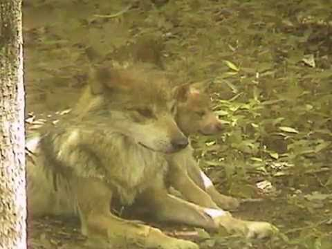 Mexican Gray Wolf Father