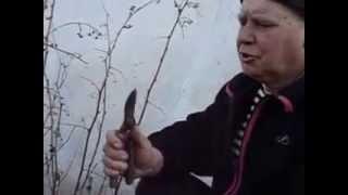 Как Подрезать малину весной и чем обработать(В данном видео можете увидеть как правильно подрезать кусты малины чем обработать и кому нужно пишите..., 2015-03-01T23:01:01.000Z)