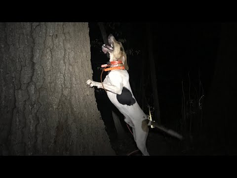 Coon Hunting With Walker Hounds!