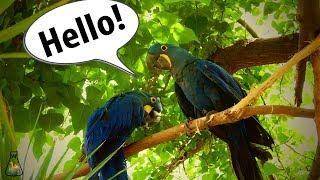 Why Do Parrots Talk?