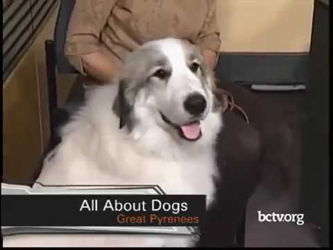 Great Pyrenees and Greater Swiss Mountain Dog breeds  12-5-17