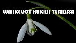 Lumikellot kukkii Turkissa