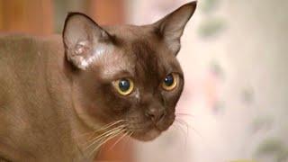 Кошачья логика: кошачий микрорайн и бурманская порода