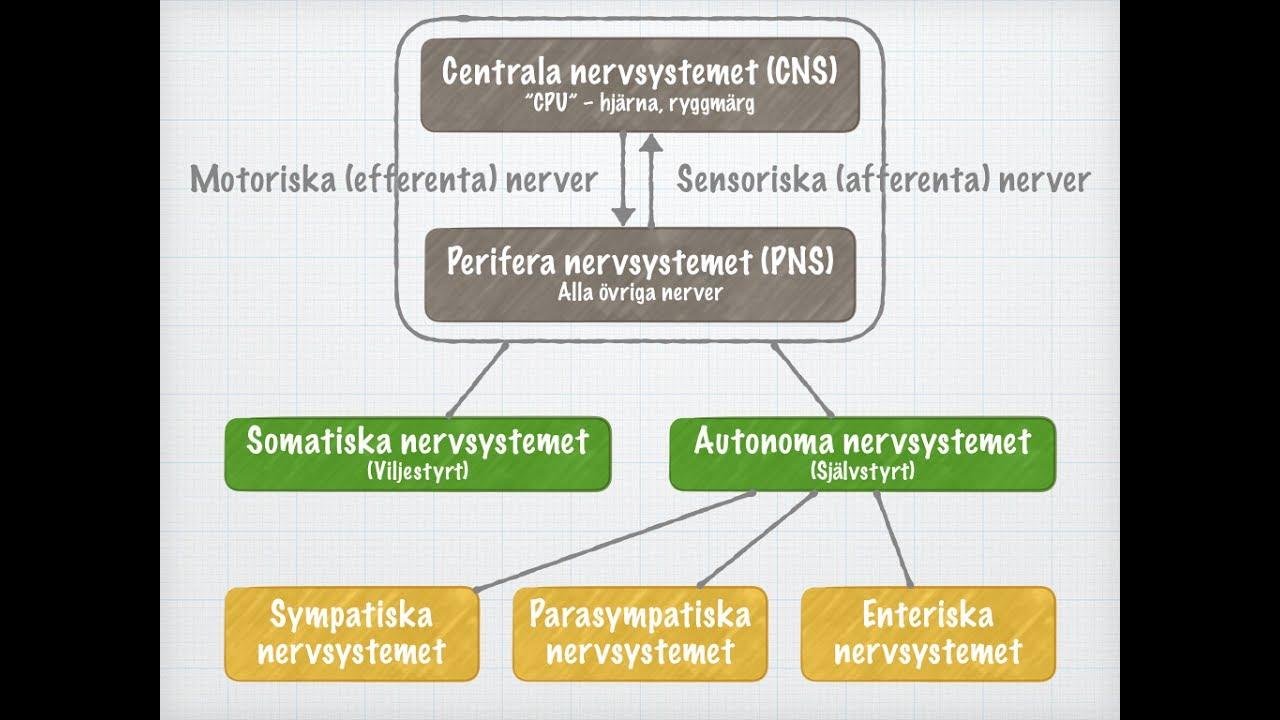 somatiska och autonoma nervsystemet