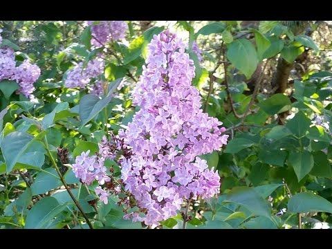 The Easiest Way To Start Lilacs.