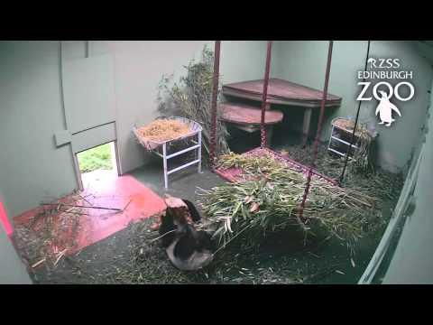 Panda playtime for Tian Tian at RZSS Edinburgh Zoo