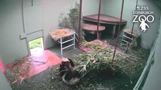 الحنين إلى الوطن يدفع الباندا إلى حب جذع شجرة (فيديو)
