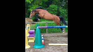 Cash Legend 2014 AES Licensed Stallion Loose Jumping