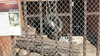 Леопард играет в минском зоопарке.(группа вконтакте: http://vk.com/pgshelp1 сайт: https://sites.google.com/site/na5balov заказать работу: ..., 2014-07-23T16:20:25.000Z)
