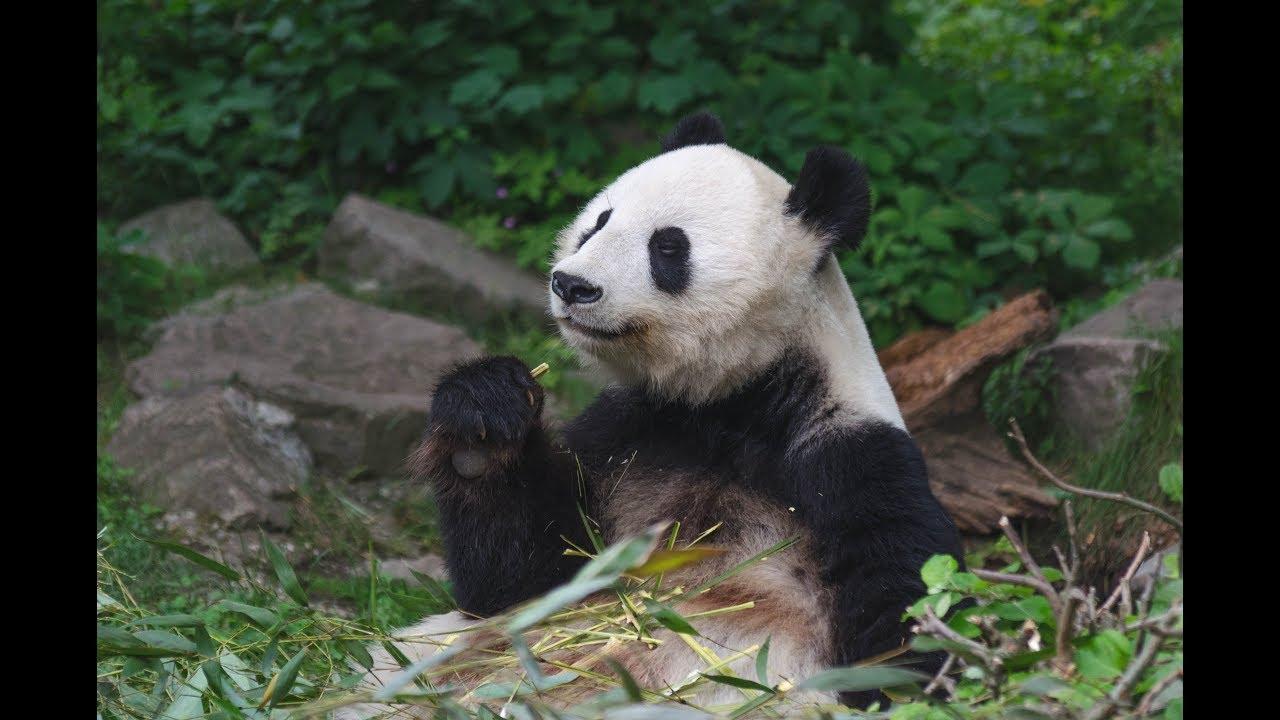 Cute Giant Panda Eating Bamboo Youtube