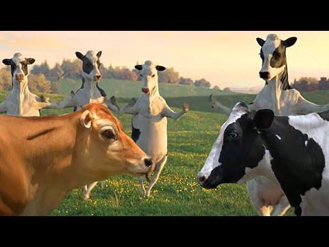 FUNNY COW DANCE